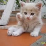 510068 fotos de gatos angora 10 150x150 Fotos de gatos angorá