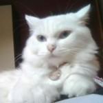 510068 fotos de gatos angora 11 150x150 Fotos de gatos angorá