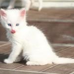 510068 fotos de gatos angora 12 150x150 Fotos de gatos angorá