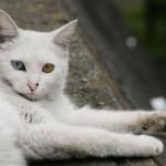 510068 fotos de gatos angora 150x150 Fotos de gatos angorá