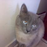 510068 fotos de gatos angora 23 150x150 Fotos de gatos angorá