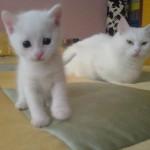 510068 fotos de gatos angora 27 150x150 Fotos de gatos angorá