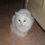 510068 fotos de gatos angora 28 150x150 Fotos de gatos angorá