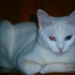 510068 fotos de gatos angora 29 150x150 Fotos de gatos angorá