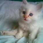 510068 fotos de gatos angora 30 150x150 Fotos de gatos angorá