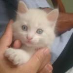 510068 fotos de gatos angora 4 150x150 Fotos de gatos angorá
