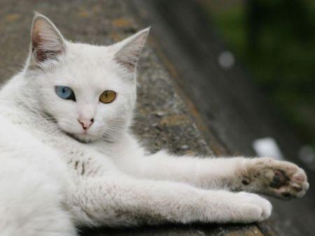 510068 fotos de gatos angora Fotos de gatos angorá