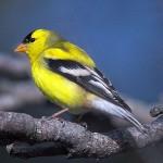 511348 fotos de passaros lindos e coloridos 1 150x150 Fotos de pássaros lindos e coloridos