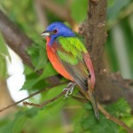 511348 fotos de passaros lindos e coloridos 19 150x150 Fotos de pássaros lindos e coloridos