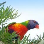 511348 fotos de passaros lindos e coloridos 20 150x150 Fotos de pássaros lindos e coloridos