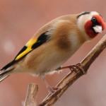 511348 fotos de passaros lindos e coloridos 25 150x150 Fotos de pássaros lindos e coloridos