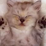 514445 fotos de gatos dormindo 10 150x150 Fotos de gatos dormindo