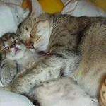 514445 fotos de gatos dormindo 2 150x150 Fotos de gatos dormindo