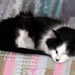514445 fotos de gatos dormindo 25 150x150 Fotos de gatos dormindo