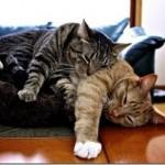 514445 fotos de gatos dormindo 27 150x150 Fotos de gatos dormindo