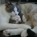 514445 fotos de gatos dormindo 35 150x150 Fotos de gatos dormindo