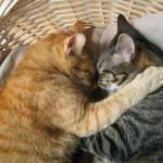 514445 fotos de gatos dormindo 7 150x150 Fotos de gatos dormindo