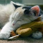 514445 fotos de gatos dormindo 8 150x150 Fotos de gatos dormindo