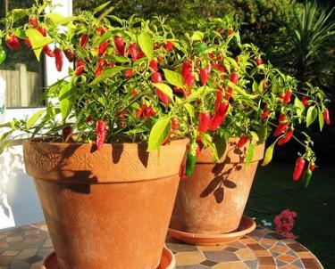 515680 pimentas como cultivar 1 Pimentas: como cultivar