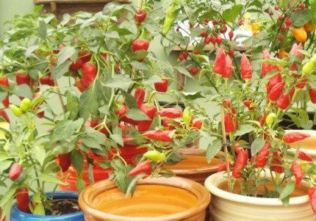 515680 pimentas como cultivar Pimentas: como cultivar