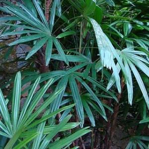 529323 Palmeira ráfia como cuidar dicas.2 Palmeira ráfia: como cuidar, dicas