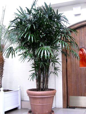 529323 Palmeira ráfia como cuidar dicas.3 Palmeira ráfia: como cuidar, dicas