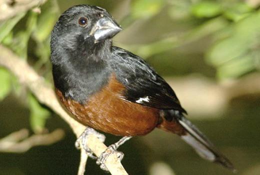 529771 Sispass ibama criação de pássaros silvestres Sispass Ibama, criação de pássaros silvestres