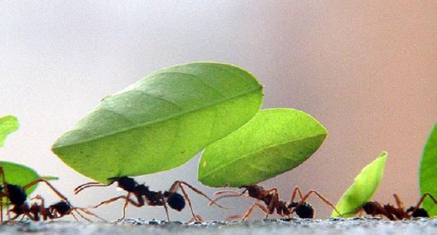 538814 formigas em fila carlos weiker Formigas: dicas para espantar