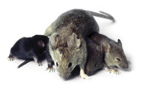 564388 Os ratos podem transmitir doenças aos seres humanos. Foto divulgação Doenças Transmitidas por ratos
