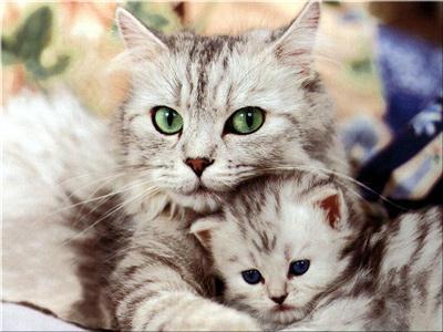 583234 Raças exóticas de gatos Raças exóticas de gatos