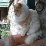 583234 Raças exóticas de gatos1 150x150 Raças exóticas de gatos