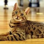 583234 Raças exóticas de gatos3 150x150 Raças exóticas de gatos