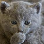 583234 Raças exóticas de gatos5 150x150 Raças exóticas de gatos