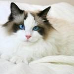 583234 Raças exóticas de gatos7 150x150 Raças exóticas de gatos