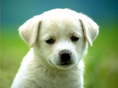 591554 Primeiros dias do filhote do cachorro – como cuidar Primeiros dias do filhote de cachorro: como cuidar