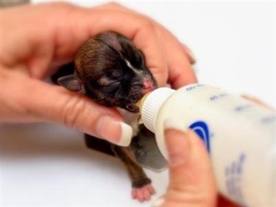 591554 Primeiros dias do filhote do cachorro – como cuidar2 Primeiros dias do filhote de cachorro: como cuidar