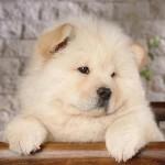598108 Raças de cães chow chow informações e fotos1 150x150 Raças de cães Chow chow, informações e fotos