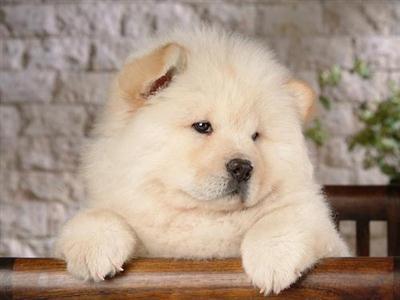 598108 Raças de cães chow chow informações e fotos1 Raças de cães Chow chow, informações e fotos