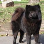 598108 Raças de cães chow chow informações e fotos2 150x150 Raças de cães Chow chow, informações e fotos
