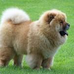 598108 Raças de cães chow chow informações e fotos3 150x150 Raças de cães Chow chow, informações e fotos