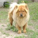 598108 Raças de cães chow chow informações e fotos4 150x150 Raças de cães Chow chow, informações e fotos