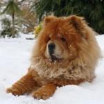 598108 Raças de cães chow chow informações e fotos5 150x150 Raças de cães Chow chow, informações e fotos