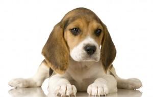 Raças de cães mais dóceis