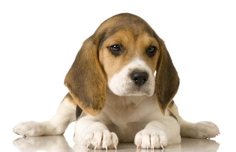 598557 Raças de cães mais dóceis 4 Raças de cães mais dóceis