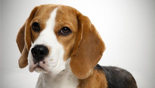 598557 Raças de cães mais dóceis Raças de cães mais dóceis