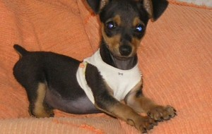 Raças-de-cães-Pinscher-informações-e-fotos-2