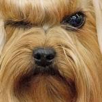 599053 Raças de cães Yorkshire informações e fotos 8 150x150 Raças de cães Yorkshire, informações e fotos