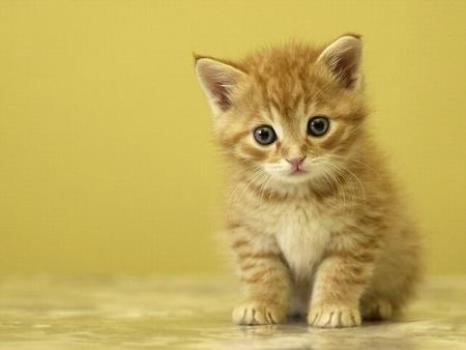 600002 Como ensinar gatos a urinar no lugar correto 1 Como ensinar gatos a urinar no lugar correto