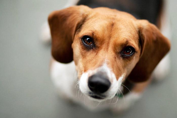 607736 como aplicar insulina em caes Como aplicar insulina em cães