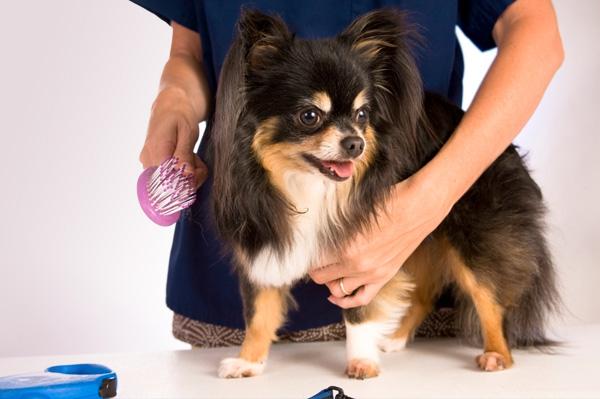 612832 cachorro escovado Cuidados ao tosar pelo de cachorro